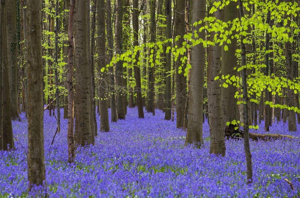 Rừng Xanh ở Halle, Bỉ, gây ấn tượng với cánh đồng hoa chuông trải thảm xanh lãng mạn. Vào cuối tháng 4 đến đầu tháng 5, khi hoa chuông xanh bung nở, nơi đây được ví như bức tranh cổ tích bởi vẻ đẹp mơ màng.