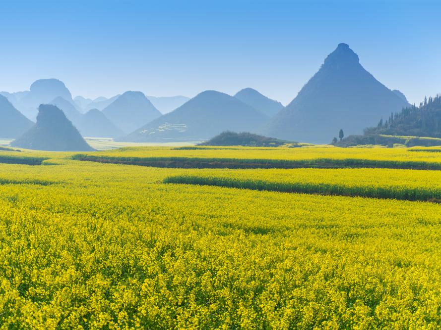 Những cánh đồng hoa cải dầu ở La Bình, Trung Quốc, đang nở rộ, gây ấn tượng với sắc vàng tươi phủ kín không gian. Những bông hoa được sử dụng để làm dầu hạt cải, bung nở từ tháng 2 đến tháng 3.