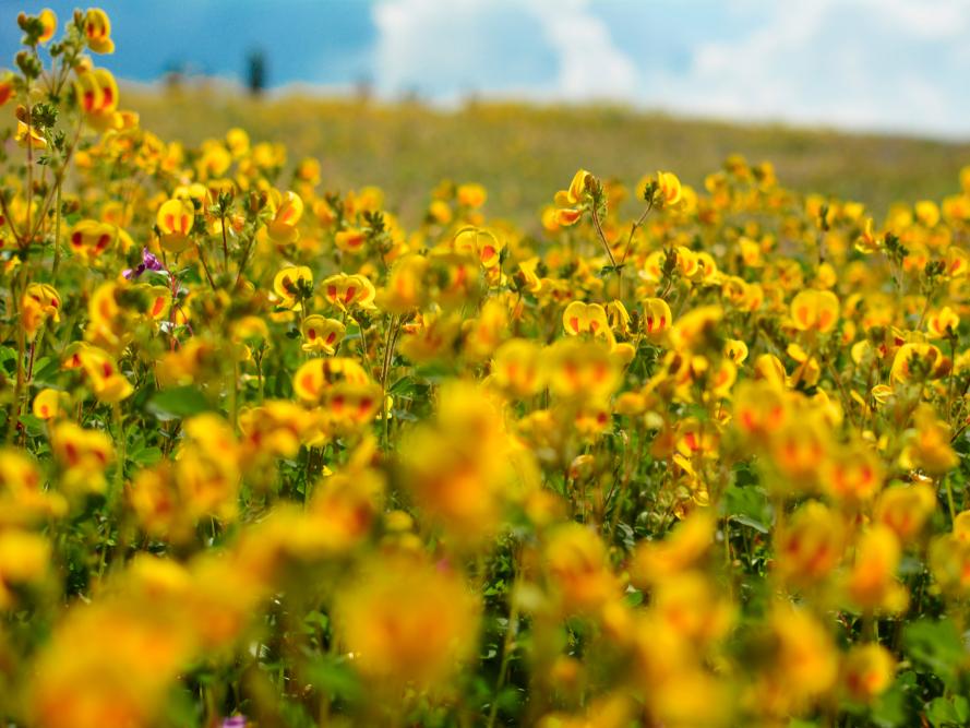 Cao nguyên Kaas ở Maharashtra, Ấn Độ, trồng hơn 450 loại hoa trên thế giới. Thảm hồng balsam, thảm vàng của smithia và sắc xanh của utricularia đan xen ấn tượng vào giữa tháng 9, tháng 10.