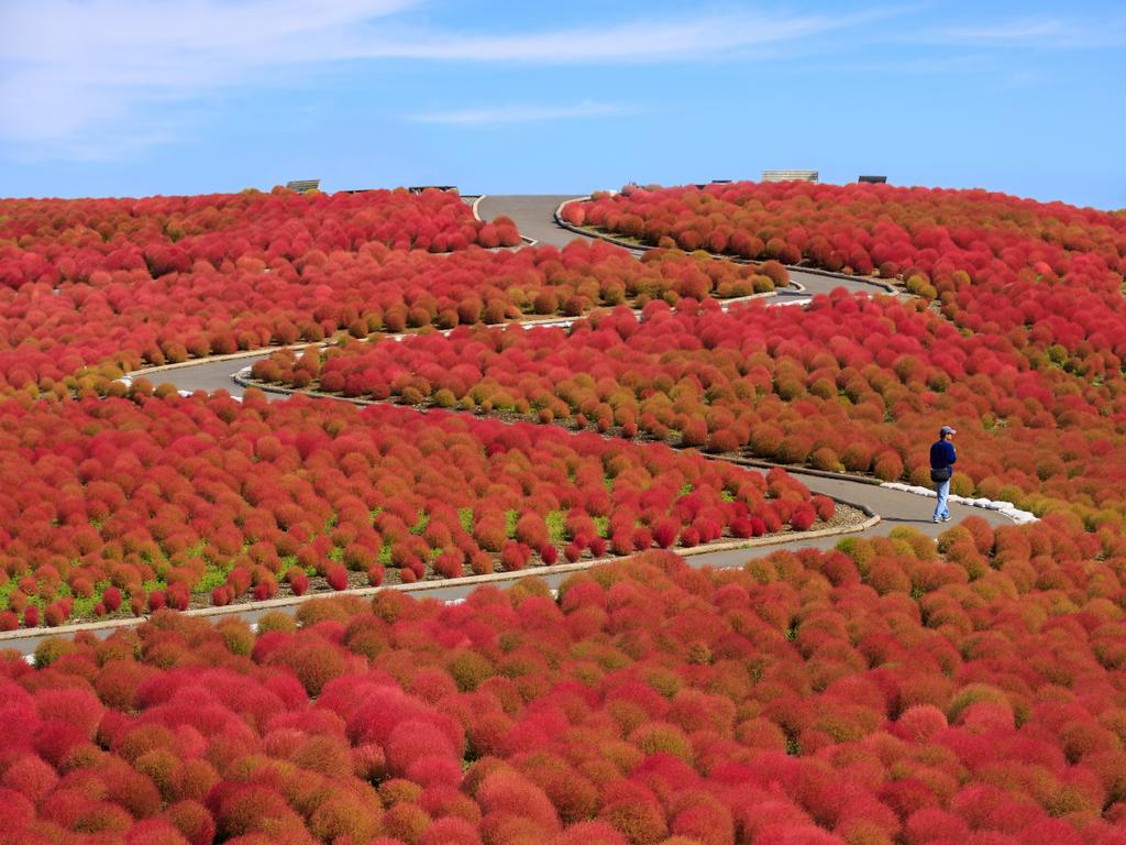Công viên bờ biển Hitachi ở Ibaraki, Nhật Bản, gồm 350 ha trồng hoa. Hoa nemophila màu xanh sẽ vào mùa từ cuối tháng 4 đến giữa tháng 5, những bụi cây kokia màu xanh lá chuyển sang màu đỏ rực rỡ vào tháng 10.