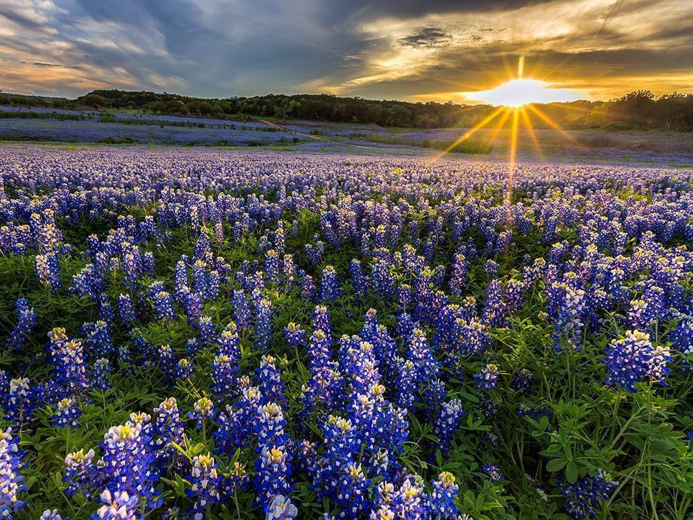 """Vào cuối tháng 3, đầu tháng 4, """"miền Tây hoang dã"""" Texas, Mỹ bỗng trở nên đẹp diệu kì với sự xuất hiện của những cánh đồng Bluebonnet rộng ngút mắt. Sắc xanh tím có ở khắp nơi, từ trong vườn, ven đường cao tốc đến cánh đồng bỏ hoang... mỗi khi mùa hoa đến."""
