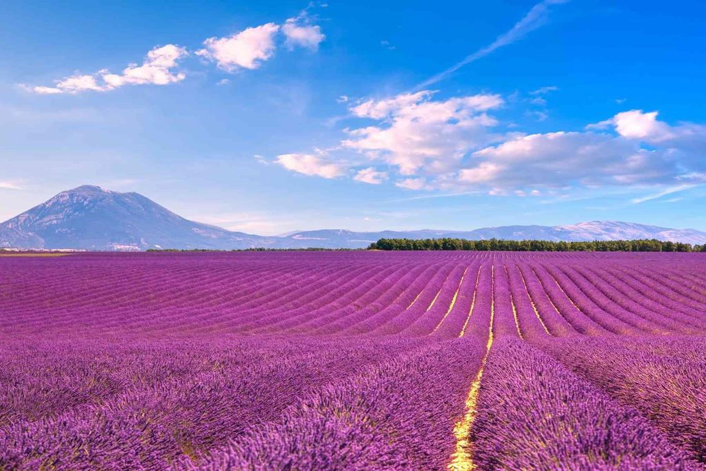 Cánh đồng oải hương lãng mạn ở Provence, Pháp, bắt đầu nở rộ từ cuối tháng 6 đến đầu tháng 8. Vẻ đẹp dịu dàng, mộng mơ của loài hoa này từ lâu đã được du khách khắp nơi chú ý.