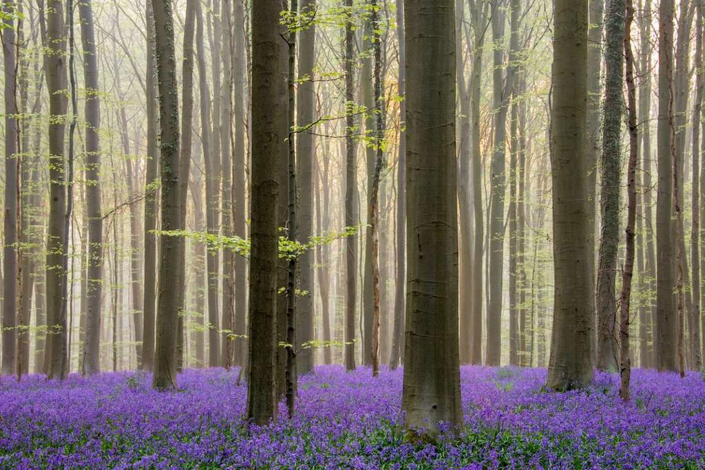 """Rừng Hallerbos (Bỉ) còn được mệnh danh là """"khu rừng xanh"""". Với những thảm hoa chuông phủ sắc xanh tím, khu rừng trở thành điểm du lịch hấp dẫn tại châu Âu vào mùa xuân. Du khách đến thăm cánh rừng Hallerbos được yêu cầu không đi vào các luống hoa và giẫm lên hoa khi chụp ảnh."""