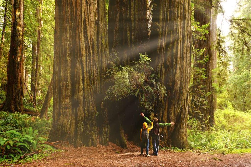 Rừng Redwood (Mỹ) là một trong những rừng cây khổng lồ nhất thế giới. Rừng có những cây cổ thụ hơn 2.000 tuổi, cao tới 115m và đường kính thân khoảng 8 m.