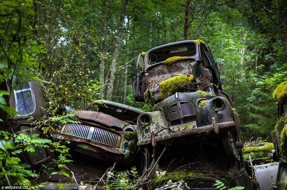 Hàng loạt xe cổ điển rỉ sét của thương hiệu Opel, Ford, Volvo, Buick, Audi, Saab, Sunbeam... có mặt tại nơi này. Chúng trở thành một phần của tự nhiên, cây cối mọc khắp nơi và xuyên qua ô cửa, tay lái. Vẻ đẹp ma mị, rùng rợn thu hút du khách yêu mạo hiểm đến khám phá. Ảnh: Dailymail.