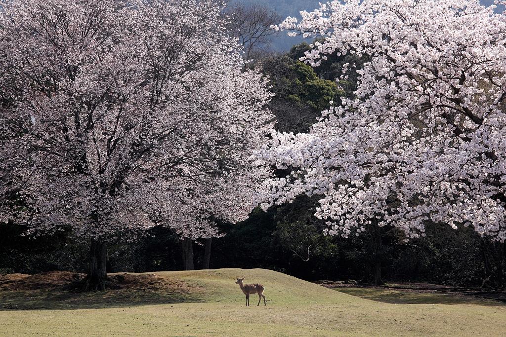 Công viên Nara nổi tiếng là nơi sinh sống của khoảng 1.000 con nai ở Nhật Bản. Khách du lịch thường chuẩn bị thực phẩm tới đây cho chúng ăn, khiến công viên trở thành địa điểm du lịch thu hút.