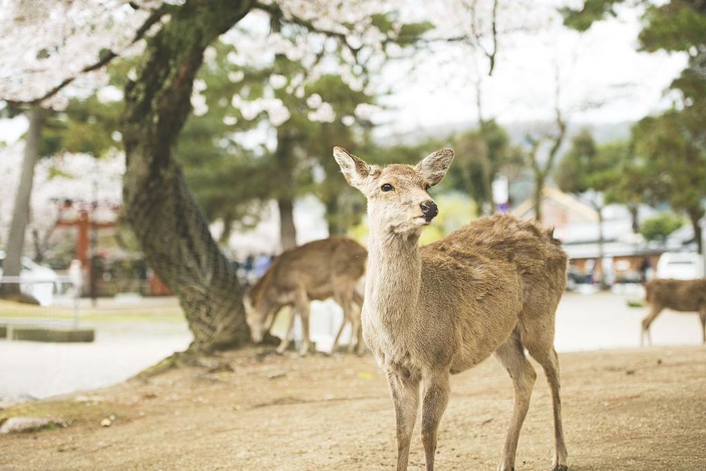 Kazuki Ikeda mong muốn mọi người sẽ đến thăm thành phố Nara khi Covid-19 không còn là mối đe dọa ở đây. Anh muốn giới thiệu vẻ đẹp của thành phố và công viên địa phương để khuyến khích mọi người đến và tận hưởng thiên nhiên.