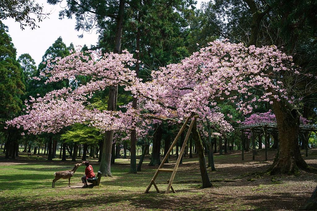 Thành phố Nara nổi tiếng là nơi loài nai sinh sống hòa hợp với con người. Theo truyền thuyết Thần đạo của người Nhật, nai là sứ giả truyền tải những ước mong của con người đến thần linh.