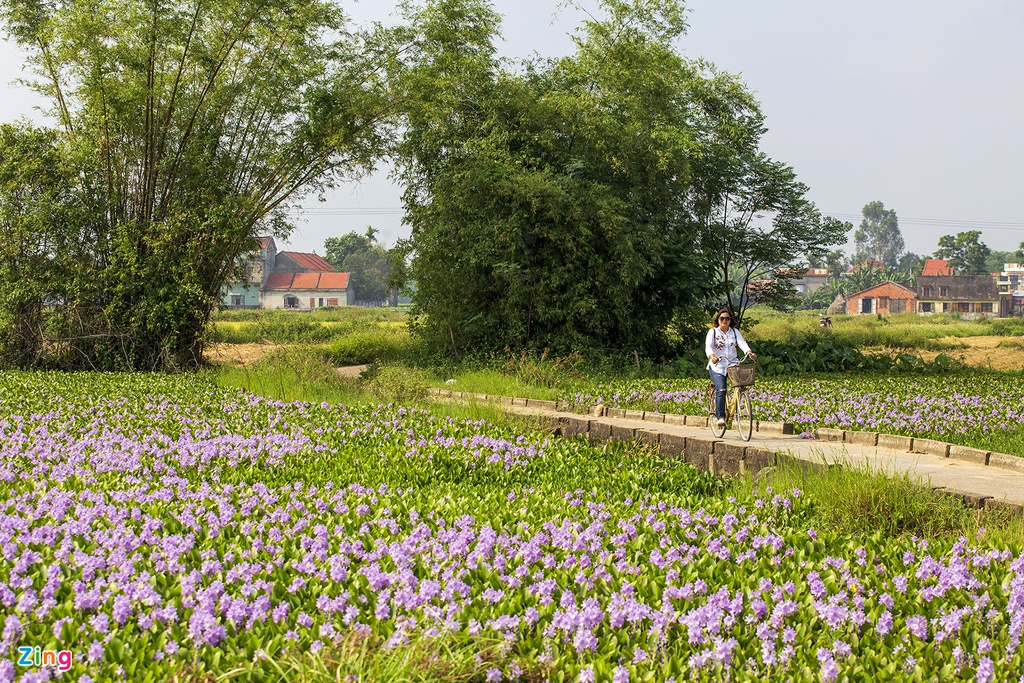 Mỗi dịp đầu hè, những bông hoa tím lại ngoi lên mặt nước. Mỗi con sông, ao hồ như được khoác lên mình một tấm áo mới. Hoa có sức sống mãnh liệt, chỉ cần được cắm rễ xuống nước, chẳng mấy chốc cả ao hồ ken đặc một màu xanh tươi mát.