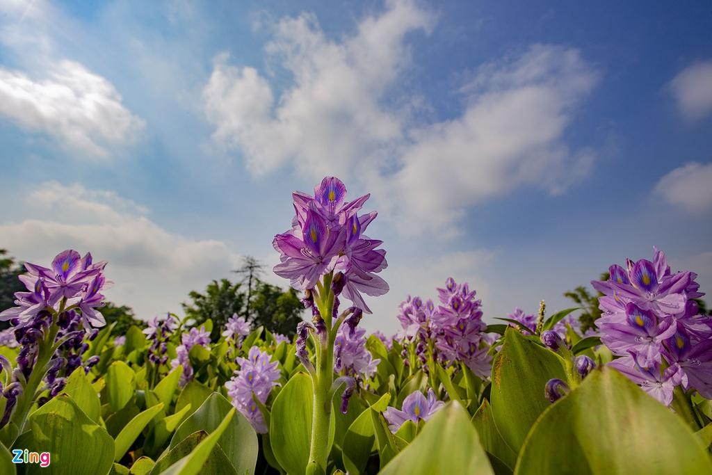 Lục bình còn được gọi là bèo Nhật Bản hay dân giã hơn là bèo. Hoa nở thành từng chùm với sắc tím nhạt, điểm xuyết những chấm xanh lam, vàng như những hoạ tiết trên lông loài chim công.
