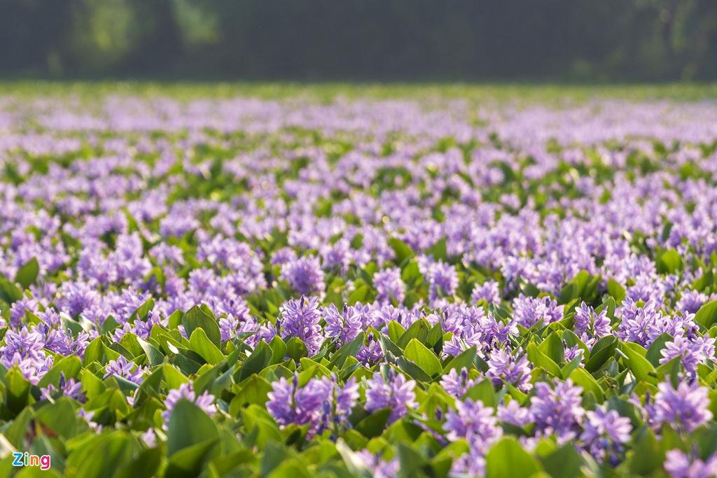 Tuy nhiên, hoa có tuổi đời rất ngắn, từ lúc nở bung cho đến khi những cánh hoa rũ xuống vẻn vẹn chỉ trong một ngày.