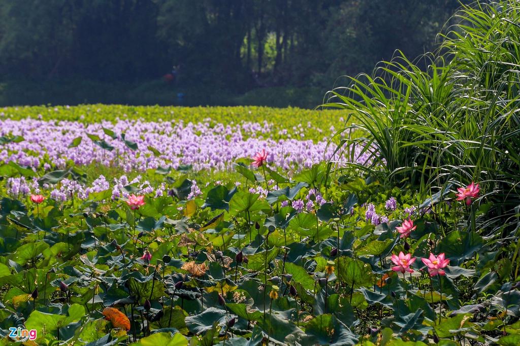 Dù không được ca ngợi như nhiều loài hoa khác nhưng lục bình đã trở thành một hình ảnh không thể quên trong ký ức mỗi người.