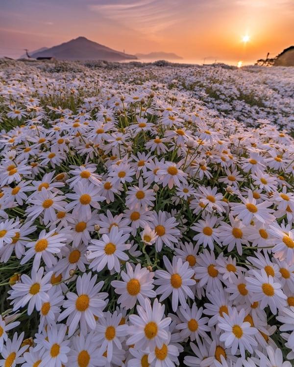 Công viên Urashima thuộc Kagawa - tỉnh có diện tích nhỏ nhất Nhật Bản - là điểm dừng chân yêu thích của người yêu hoa mỗi khi vào hè. Nhiều loài hoa được trồng quanh năm ở đây, nhưng nổi bật nhất là tầm giữa tháng 5 đến cuối tháng 6, cũng là mùa cúc trắng. Ảnh chanyuri_photo