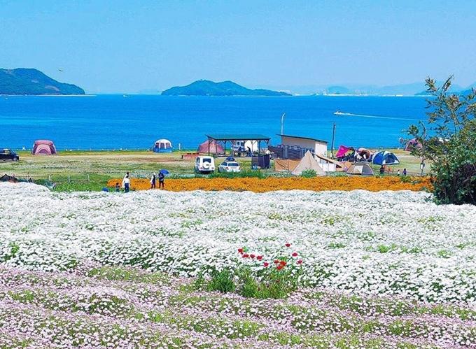 Vì không gần trung tâm thành phố, cũng xa những điểm du lịch nổi tiếng nên nơi này vắng bóng du khách quốc tế, bù lại khá đông người địa phương đến picnic, cắm trại mỗi khi đến mùa hoa nở.Tháng 4 là mùa hoa cúc vàng, tháng 9 hoa cosmos còn tháng 5-6 mùa cúc trắng và poppy đẹp như tranh. Ảnh shinichi624