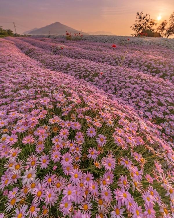 Điều thú vị nhất là khi mặt trời mọc hay lúc hoàng hôn buông, đồng hoa nhuộm sắc cam, đôi khi là màu hồng lãng mạn. Thêm núi non, biển xanh làm nên tạo cảm giác thanh bình. Ảnh chanyuri_photo