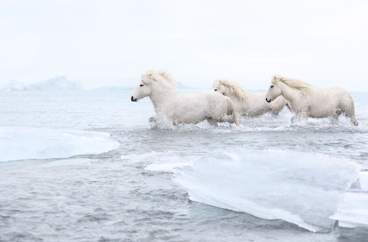 Ngựa ở đây khác biệt với bất kỳ giống loài nào khác được tìm thấy trên khắp thế giới, về cả đặc điểm và khả năng. Chúng có kích thước nhỏ nhưng khỏe mạnh và có tuổi thọ cao.  Địa hình của Iceland vô cùng đa dạng, vì vậy trong nhiều thế kỷ, khi giao thông chưa phát triển, ngựa là phương tiện duy nhất để di chuyển, chở hàng hóa, đưa thư. Những người định cư đầu tiên ở băng đảo đoán định được điều này, họ mang theo những con mạnh nhất trong đàn tới đây, khi di cư từ Na Uy. Bị cô lập trên đảo và không lai tạo với bất kỳ giống ngựa nào khác từ năm 874, chúng là loài ngựa Viking thuần chủng cao quý, đóng vai trò quan trọng trong văn hóa, lịch sử Iceland.