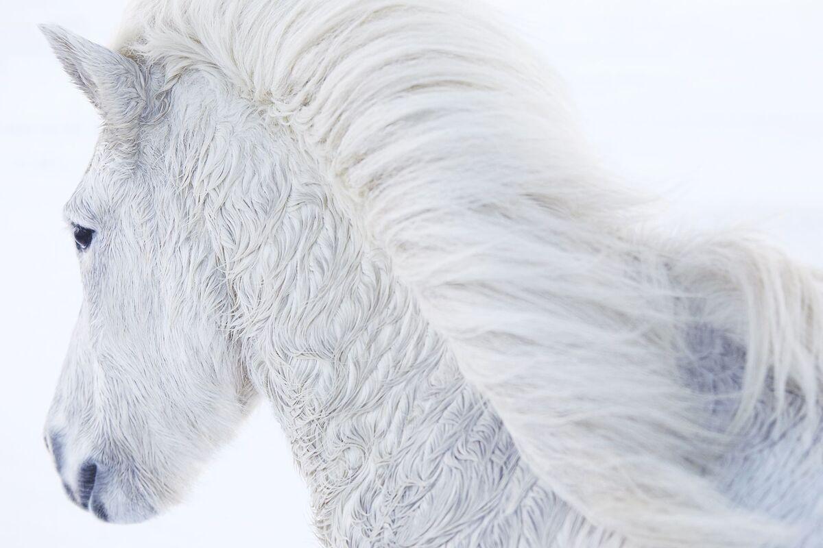Để thích nghi với điều kiện sống khắc nghiệt, bộ lông của chúng mọc dài và mượt. Chúng là giống ngựa duy nhất thực hiện được 5 kiểu di chuyển khác nhau, gồm đi, chạy bộ, phi nước đại và chân không chạm đất. Nổi bật nhất là tolt, dáng đi bốn nhịp với chân sau di chuyển chính và 2 chân trước thư giãn.