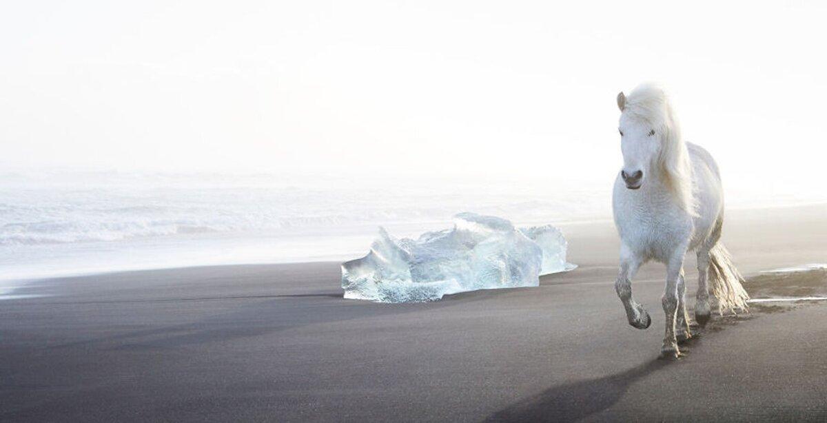"""Ngựa trắng chạy dài trên bãi cát đen của Breiðamerkursandur. Cạnh đó là những tảng băng biển.   Breiðamerkursandur được đặt biệt danh là """"bãi biển kim cương"""", một trong những điểm tham quan nổi tiếng nhất ở Iceland. Những tảng băng trôi dạt đến bãi biển từ đầm phá Jökulsárlón. Ngoài kích thước, băng từ đầm phá gây ấn tượng bởi màu sắc. Bên cạnh màu trắng, chúng có thể nhuốm màu xanh lam hoặc mang vệt đen từ tro núi lửa."""
