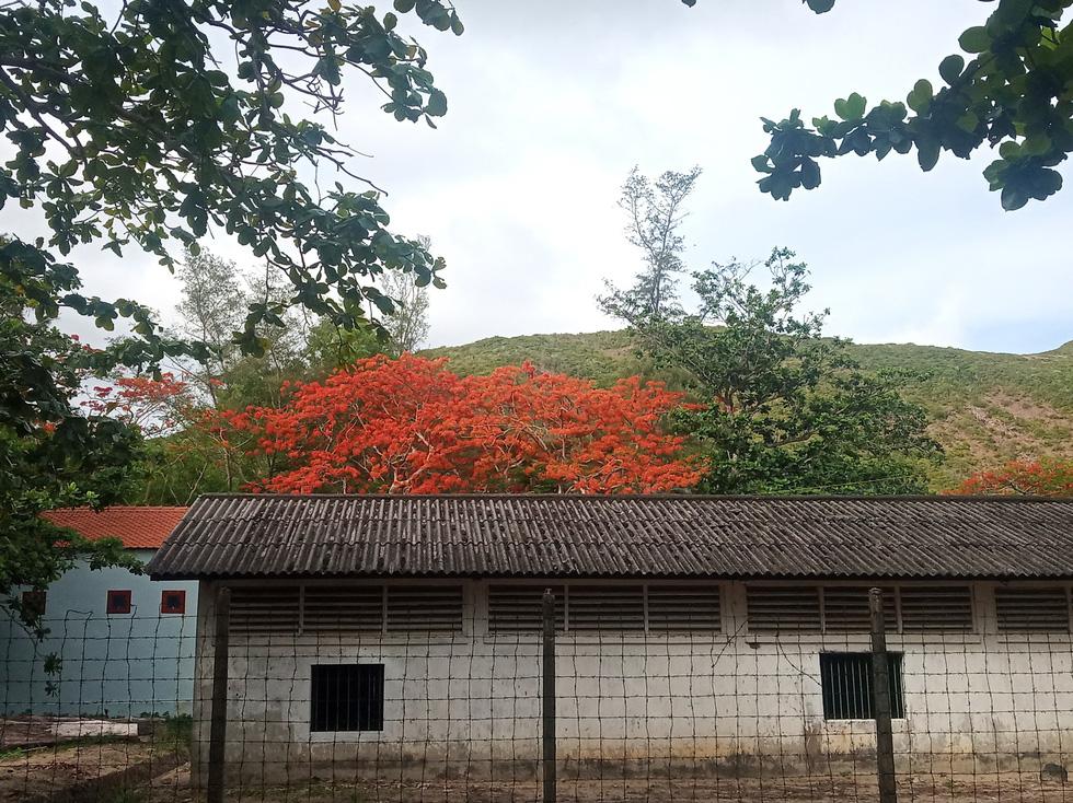 Những nhành phượng đỏ thắm khoe sắc nhìn từ di tích trại Phú Bình
