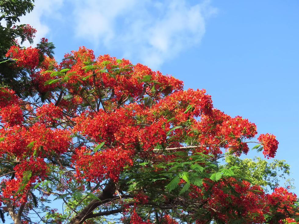 Phượng nở rực rỡ phủ đỏ trong nghĩa trang Hàng Dương