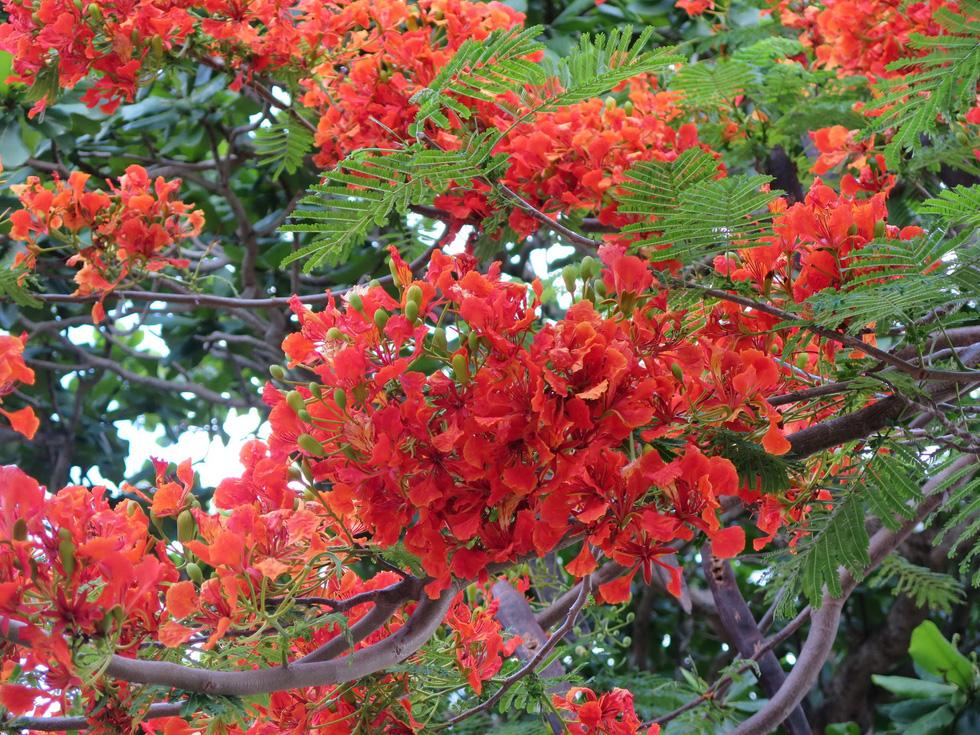 Ở các cung đường Côn Đảo, hầu như nơi nào cũng thấy cây phượng. Mùa hè này phượng trở thành loài hoa chủ đạo của nơi đây