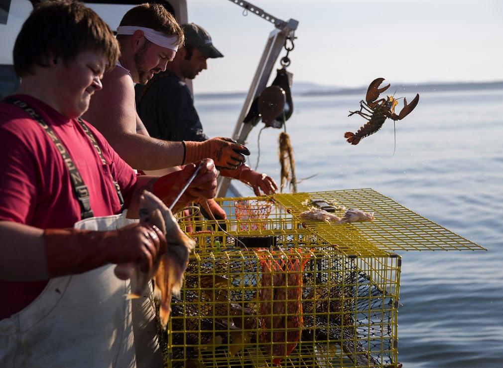 Tại Deer Isle (Mỹ), ngư dân đang gặp khó khăn trong việc khai thác tôm hùm. Các nhà khoa học cho biết sự nóng lên toàn cầu có thể khiến tôm hùm di cư về đến vùng nước lạnh, sâu hơn. Trong ảnh, 3 ngư dân bẫy tôm hùm nhưng chỉ bắt được một con quá nhỏ. Họ không giữ lại mà trả nó về biển. Ảnh: Joe Raedle/Getty Images.