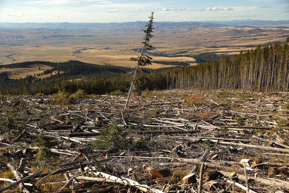 """""""Cây thông cô đơn"""" bên trong rừng quốc gia Beaverhead-Deerlodge (Mỹ). """"Biến đổi khí hậu làm mùa hè nóng và khô hơn ở vùng núi Rockies. Điều này làm tăng nguy cơ cháy rừng, mầm bệnh và côn trùng phá hoại như dịch bọ cánh cứng trên núi"""", tờ The Guardian viết. Ảnh: Chip Somodevilla/Getty Images."""