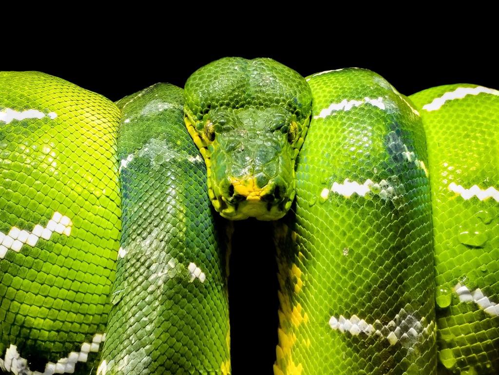 """Vẻ đáng sợ, bí hiểm của một con rắn lục phía sau tủ kính ở sở thú Singapore đã mê hoặc nhiếp ảnh gia Amolat. Chia sẻ với Agora, ông cho biết: """"Mặc dù rắn là loài động vật đáng sợ, nhưng chúng ta phải thừa nhận rằng nó xứng đáng là một trong những sinh vật đẹp nhất hành tinh""""."""