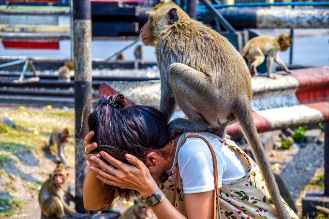 Tháng 6/2020, chính quyền thành phố ra quyết định triệt sản hàng trăm con để kiềm hãm sự sinh sôi của bầy khỉ nhằm dễ kiểm soát hơn. Bác sĩ thú y gây mê, triệt sản và để lại hình xăm đánh dấu trên từng con. Chiến dịch này từng được thực hiện ba năm trước do khỉ hay được du khách cho nhiều thức ăn chứa đường như nước uống có ga, ngũ cốc, kẹo bánh, trái cây... làm chúng thừa năng lượng và sinh sản nhiều hơn - Pramot Ketampai, người quản lý những điện thờ quanh đền Prang Sam Yod, chia sẻ.
